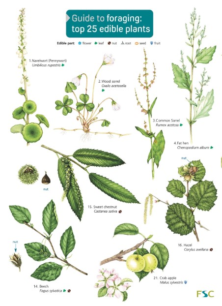 This image has an empty alt attribute; its file name is foraging-top-25-plants.jpg